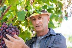 Jardinier s?lectionnant les raisins rouges m?rs de la vigne photographie stock libre de droits