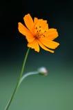 Jardins britanniques Papillon de paon sur le davidii de buddleia Photographie stock libre de droits