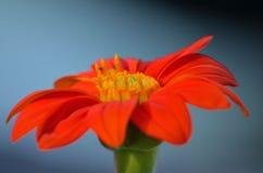 Jardins britanniques Papillon de paon sur le davidii de buddleia image libre de droits