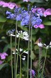 Jardins britanniques Papillon de paon sur le davidii de buddleia Photo libre de droits