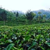 Jardins de chá Fotos de Stock Royalty Free