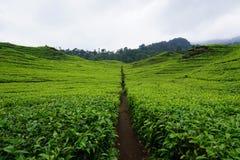 Jardins de chá da foto Foto de Stock