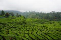 Jardins de chá da foto Imagem de Stock Royalty Free