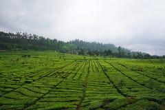 Jardins de chá da foto Fotografia de Stock Royalty Free