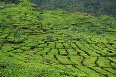 Jardins de chá da foto Imagens de Stock Royalty Free