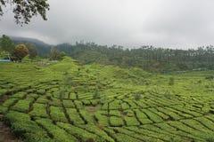 Jardins de chá da foto Fotografia de Stock