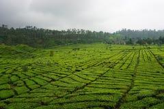 Jardins de chá da foto Foto de Stock Royalty Free