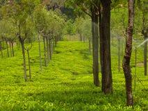 Jardins de chá em montes ooty Imagens de Stock Royalty Free