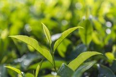 Jardins de chá em Munnar, Kerala, Índia Fotos de Stock Royalty Free