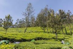 Jardins de chá em Munnar, Kerala, Índia Imagens de Stock