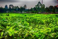 Jardins de chá em um nebuloso Imagem de Stock Royalty Free