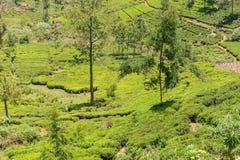 Jardins de chá em um vale foto de stock royalty free