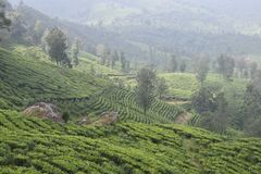 Jardins de chá na Índia Imagem de Stock Royalty Free