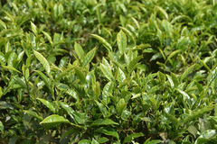 Jardins de chá na Índia Fotos de Stock