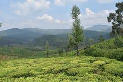 Jardins de chá na Índia Imagens de Stock Royalty Free