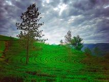 Jardins de chá verde na inclinação do monte com as árvores em munnar, kerala imagem de stock