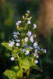 Jardins de macrophylla de Brunner de fleurs et de feuilles au printemps Images stock