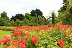 Jardins de Rosa no parque Londres dos regentes Foto de Stock