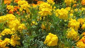 Jardins de rosas dourados Fotografia de Stock Royalty Free