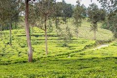 Jardins de thé à ooty Image libre de droits