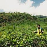 Jardins de thé Photo libre de droits