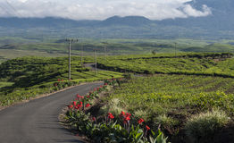 Jardins de thé Photographie stock