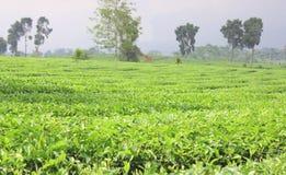 Jardins de thé Photo stock