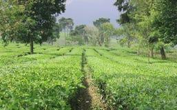 Jardins de thé photos stock