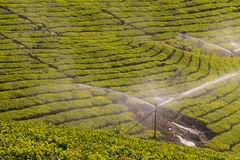 Jardins de thé chez Munar Images libres de droits