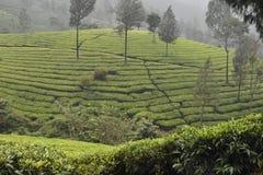 Jardins de thé dans l'Inde Photo stock