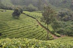 Jardins de thé dans l'Inde Photo libre de droits