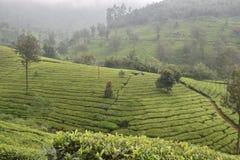 Jardins de thé dans l'Inde Photographie stock