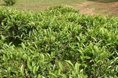 Jardins de thé dans l'Inde Photos libres de droits