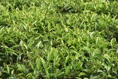 Jardins de thé dans l'Inde Image stock