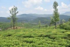 Jardins de thé dans l'Inde Photos stock