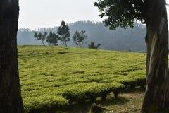 Jardins de thé dans l'Inde Photographie stock libre de droits