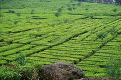 Jardins de thé de photo photographie stock libre de droits
