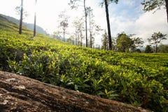 Jardins de thé, feuilles des arbustes de sinensis de camélia illuminés en m photographie stock