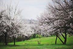 Jardins do abricó de florescência no fundo da grama verde É flores e botões do pêssego da mola? Imagens de Stock