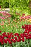 Jardins do Tulip, Keukenhof, NL Fotografia de Stock Royalty Free