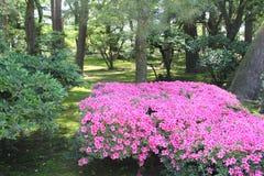 Jardins japonais d'azalée d'arbres fleurissants roses de buisson, Kanazawa, Japon Images stock