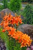 Jardín anaranjado del lirio Imagenes de archivo