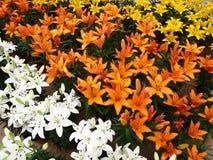Jardín de flor del lirio Imagen de archivo libre de regalías