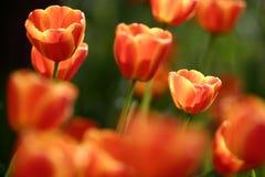 Jardín del tulipán Fotografía de archivo