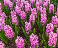 Jardín rosado del jacinto Imagen de archivo libre de regalías