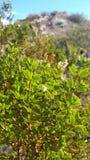 Jarilla - Larrea Cuneifolia- arkivbilder