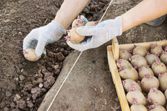 Jarovize and  planting potatoes  manually in your garden Royalty Free Stock Photography