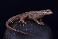 Jarrovii del jarrovii del Sceloporus del lagarto espinoso de la milenrama imagen de archivo
