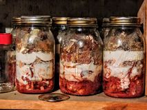 Jars of canned tomatoes lined in a row rotten and moldy Royalty Free Stock Image