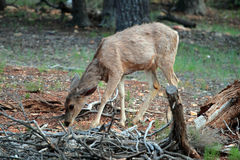 jaru deers uroczysty muła park narodowy my Obraz Stock